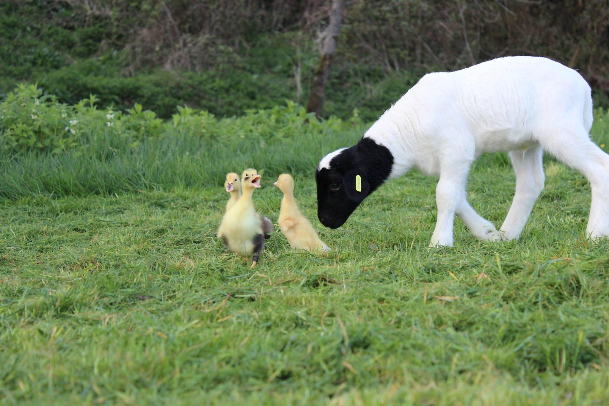 The ducks with lamb at 4 Kingdoms