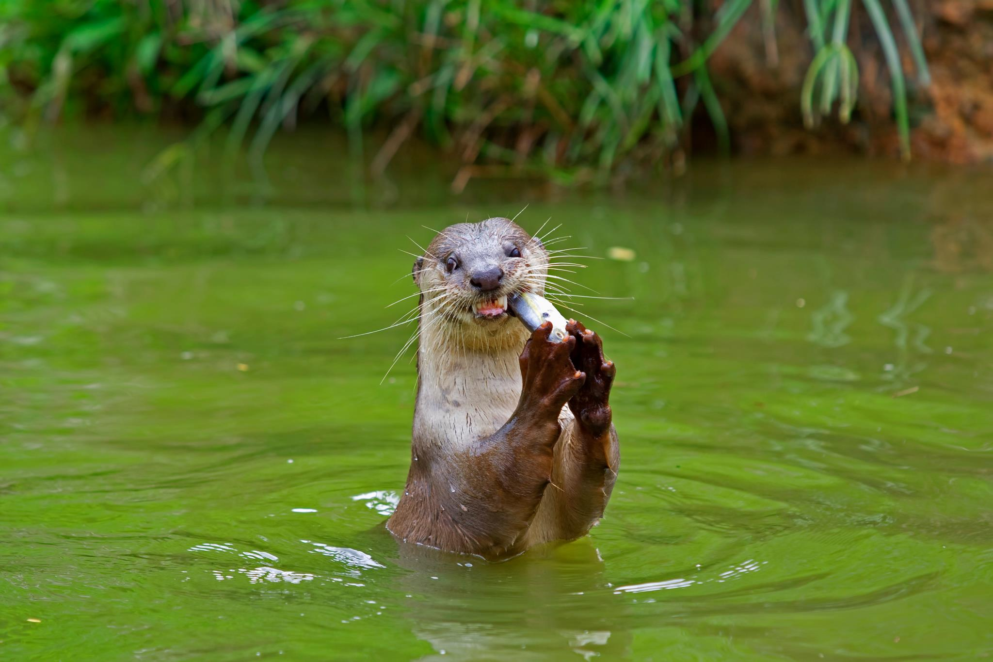 an otter catching fish in the lake at 4 Kingdoms Family Farm