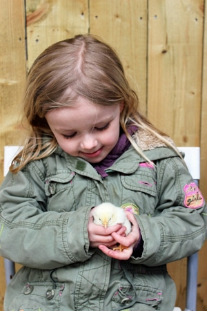 Chick Handling at the farm