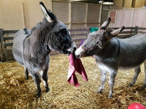 Donkeys-playing-tug-of-war