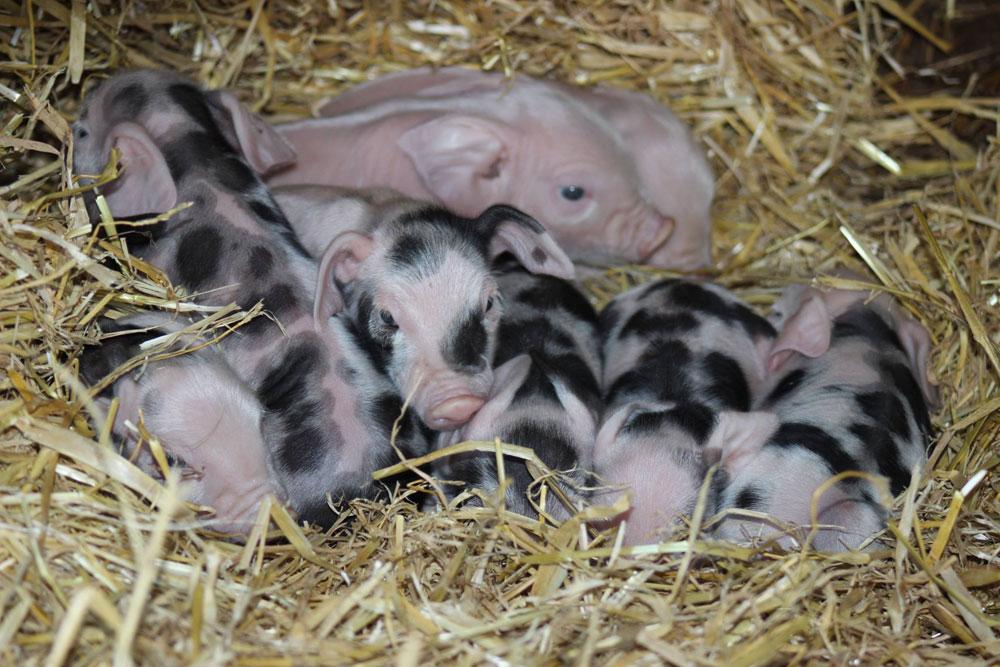 Gloucestershire Old Spot Piglets