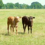 Calves at 4 kingdoms