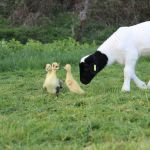 Goat and ducklings