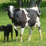 mum and baby calf