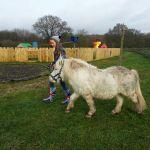 Pony walking