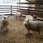 Sheep-in-barn
