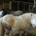 Two shetland Ponies