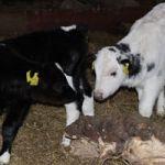 Bottle Feed the calves
