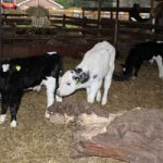 Baby calves are hungry